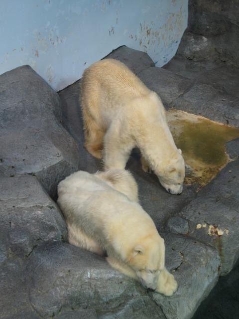 北極熊 2