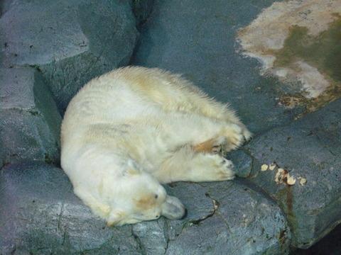 北極熊 1