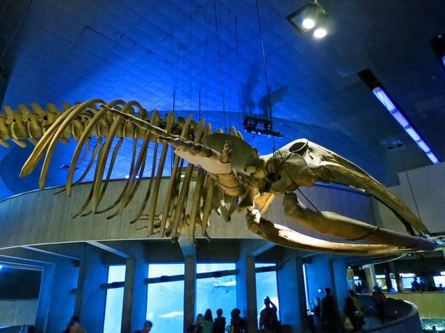 クジラの骨格標本 2_edit