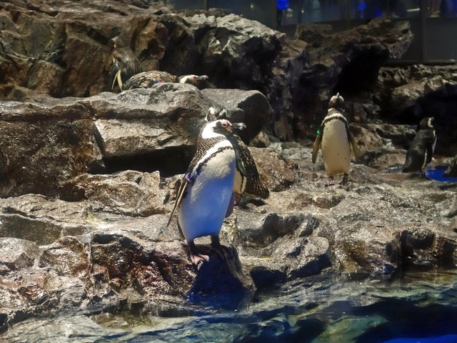 マゼランペンギン 19_edit