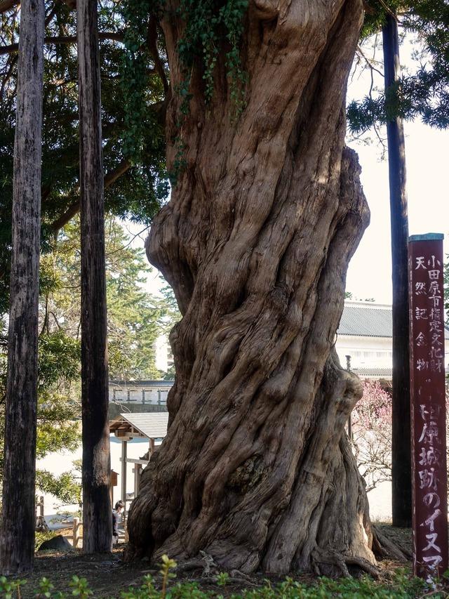 小田原城跡のイヌマキ 3_edit