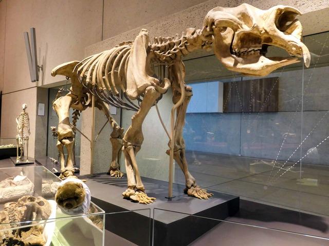 ディプロトドンの骨格標本とホコ_edit