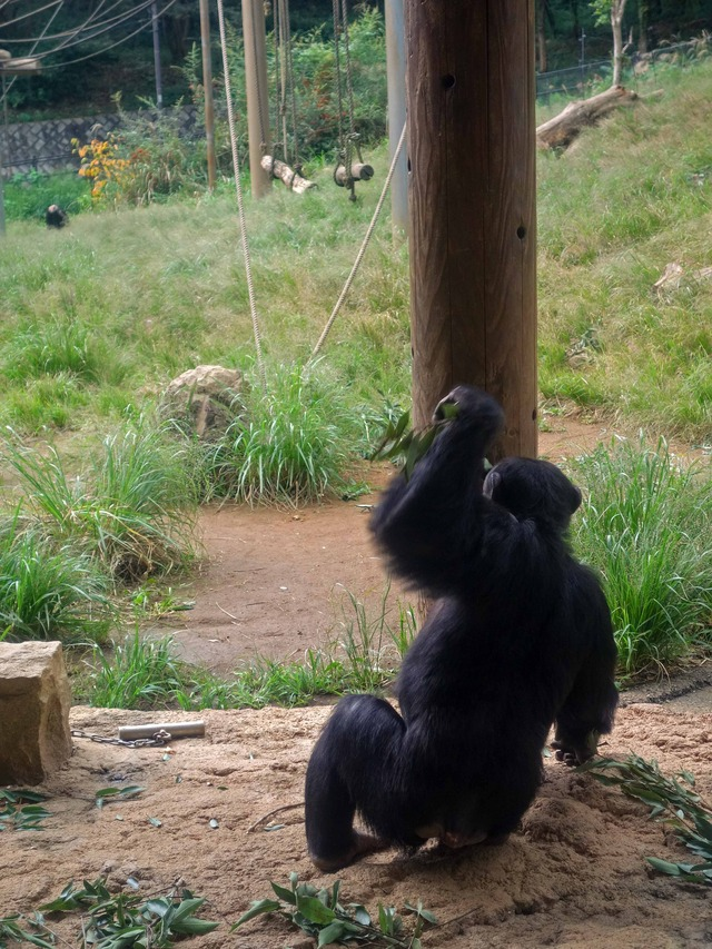チンパンジー 11_edit