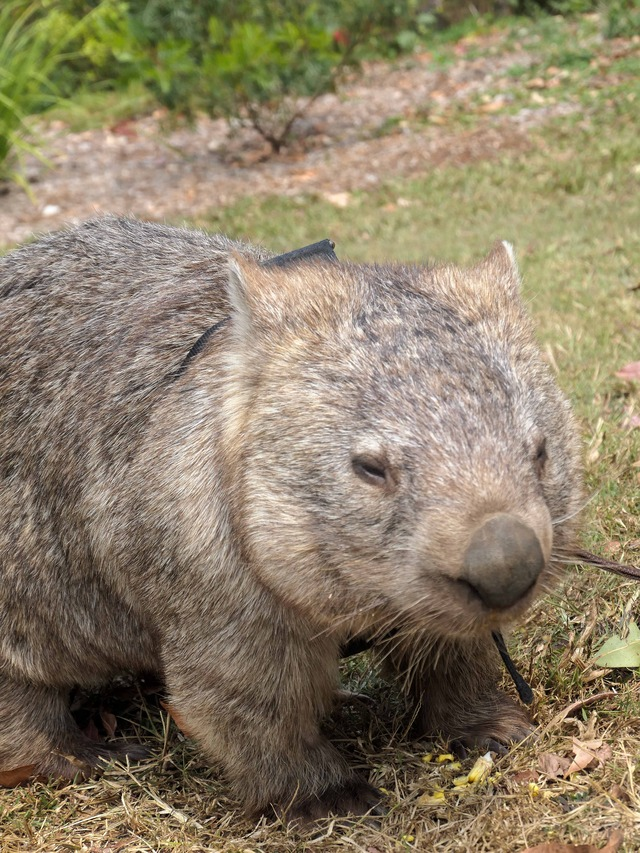 Wombat Walk 5_edit