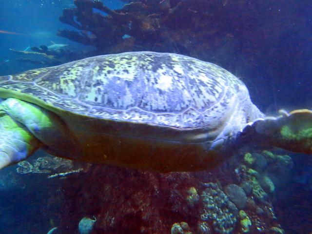 Green Sea Turtle_edit