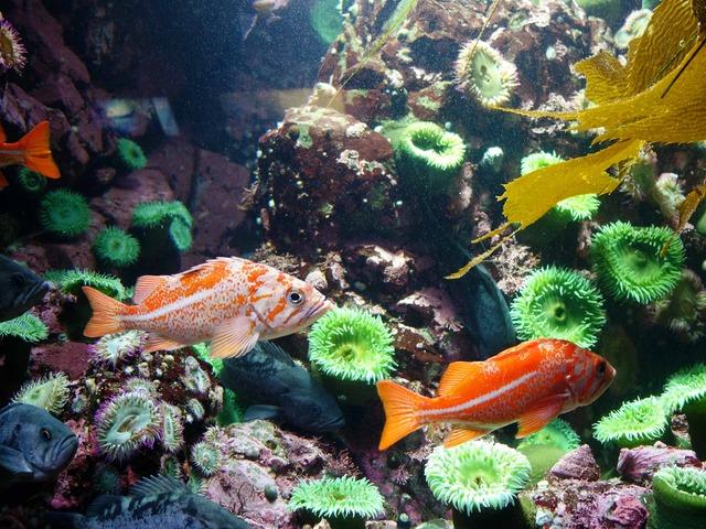 Juvenile canary rockfish 2_edit