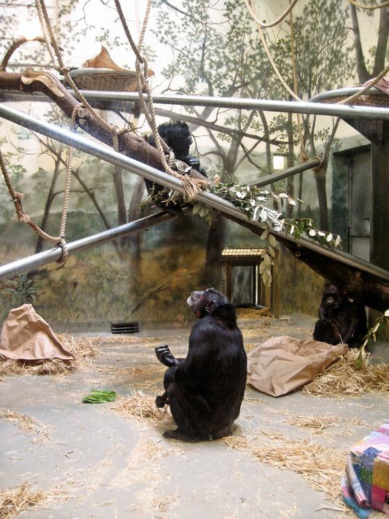 Chimpanzee 1_edit