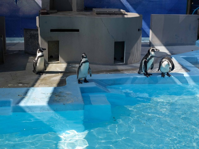 フンボルトペンギン 2_edit