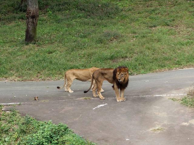 ライオン 12_edit