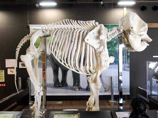 アジアゾウの骨格標本 5_edit