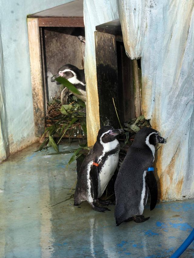 フンボルトペンギン 6_edit