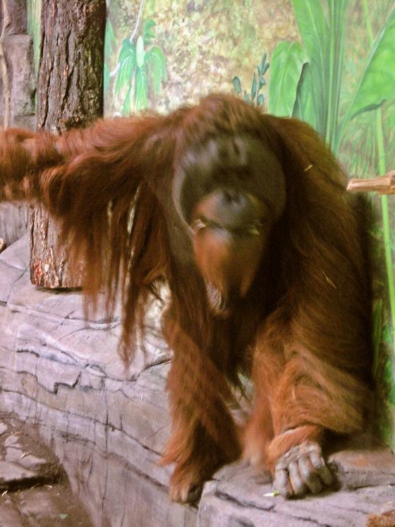 Sumatran orangutan 9_edit