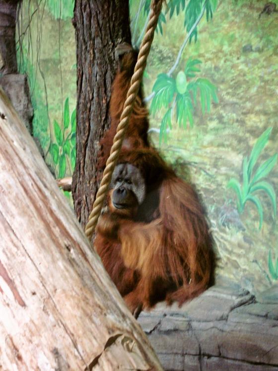 Sumatran orangutan 8_edit