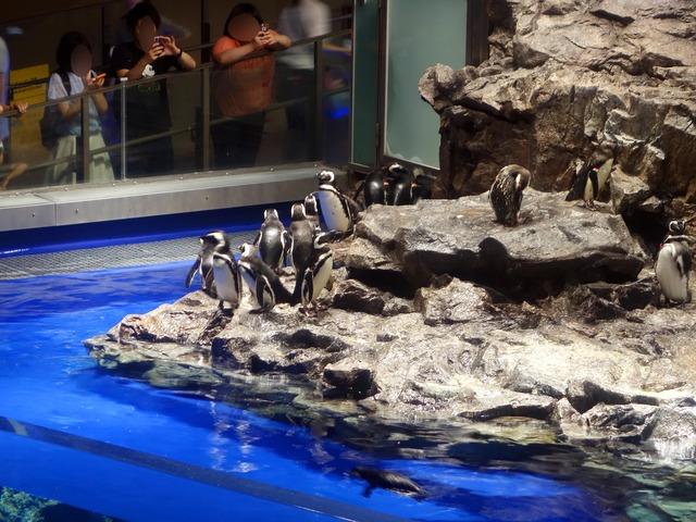 マゼランペンギン 1_edit