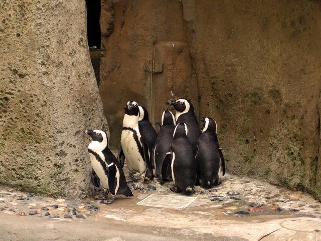 アフリカン・ペンギン 2_edit