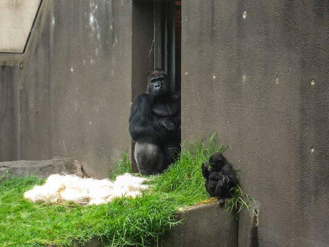 Gorilla 6_edit
