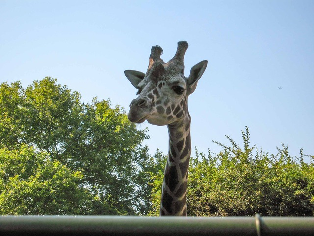 Giraffe 1_edit