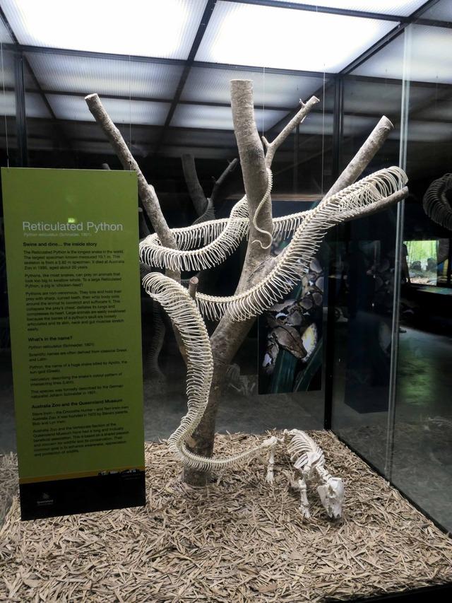 アミメニシキヘビの骨格標本 1_edit
