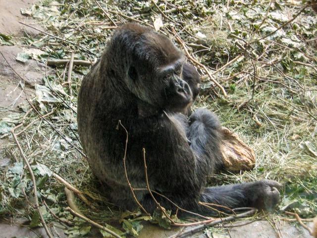 Gorilla 4_edit