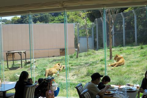 レストランからライオン舎を望む_edit
