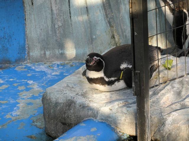 フンボルトペンギン 5_edit