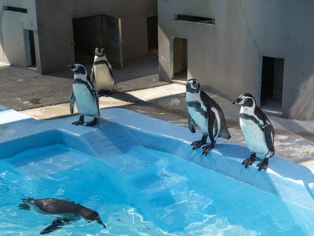 フンボルトペンギン 4_edit