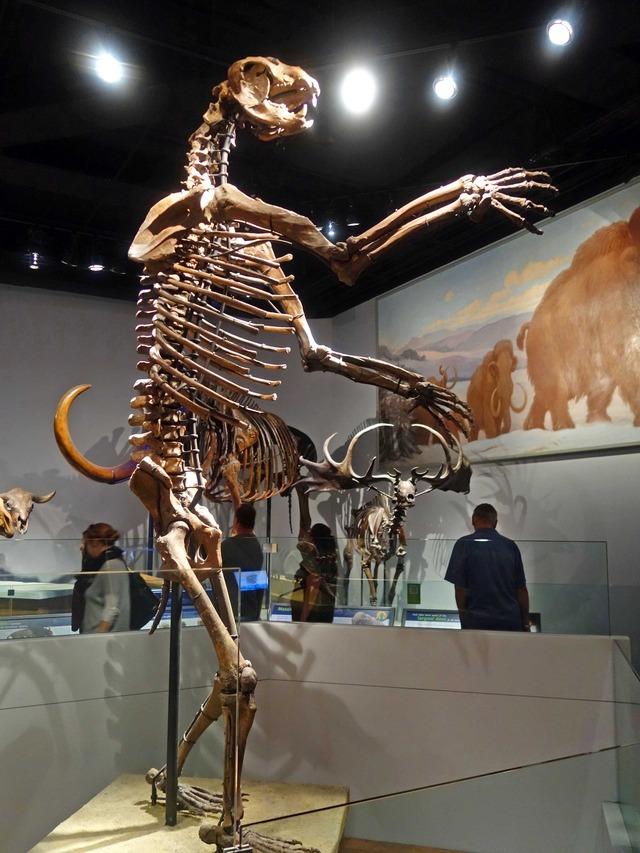 Arctodus の骨格標本_edit
