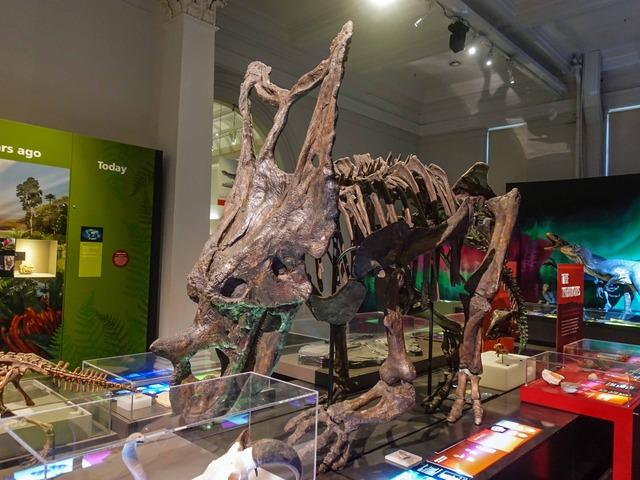 トリケラトプスの骨格標本 3_edit