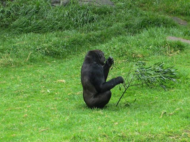 Gorilla 3_edit