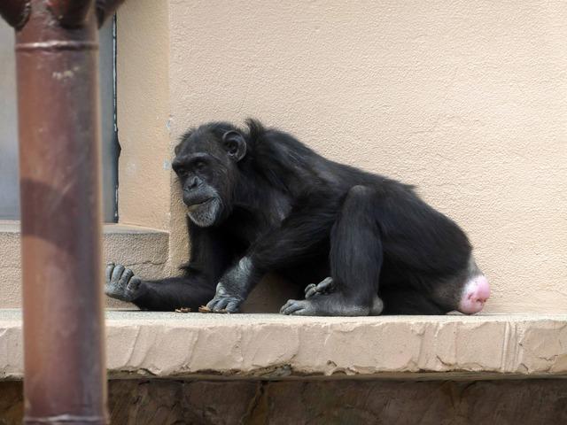 チンパンジー 2_edit