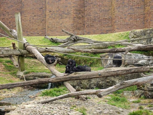 チンパンジー 7_edit