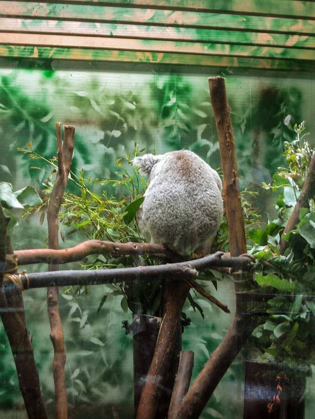 Koala_edit