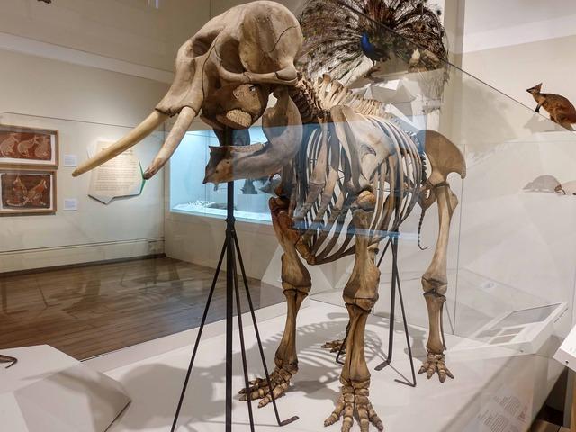 アジアゾウの骨格標本 3_edit
