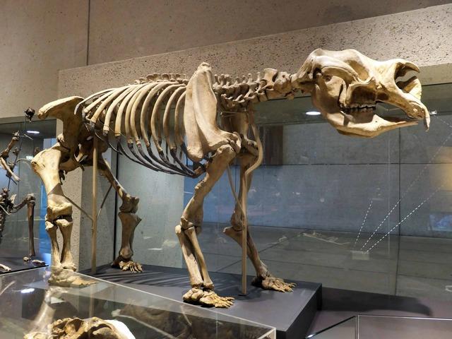 ディプロトドンの骨格標本 2_edit