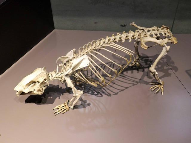 現生種のウォンバットの骨格標本_edit
