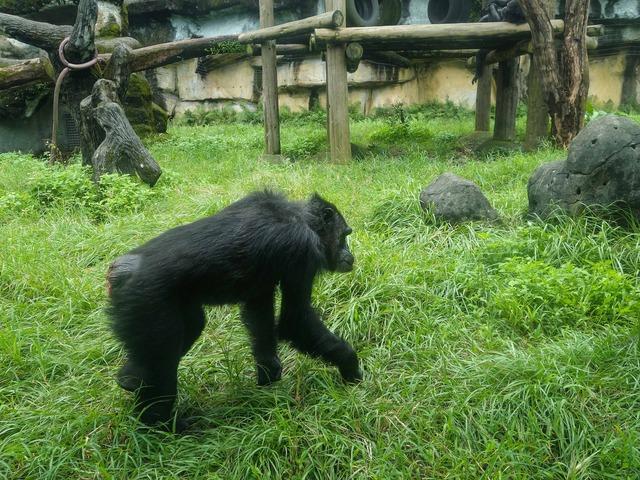 チンパンジー 6_edit