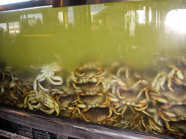 Dungeness Crab_edit