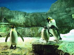 オウサマペンギン_edit