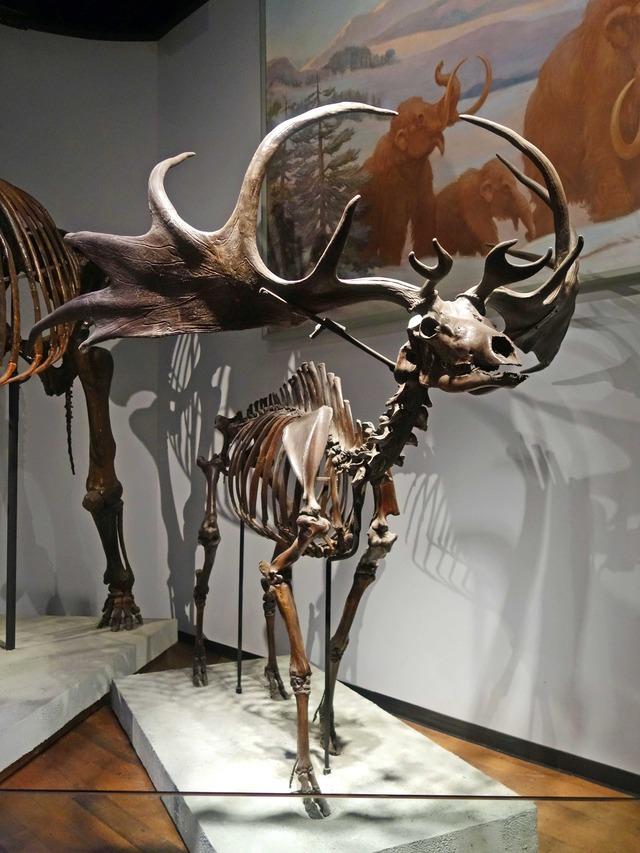 オオツノシカの骨格標本 2_edit