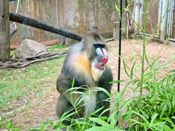 Mandrill 2_edit