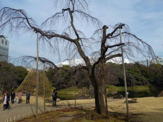 枝垂桜 2_edit