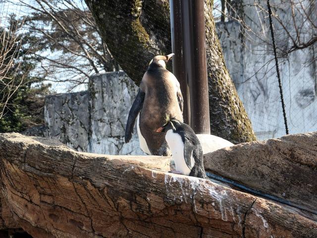 オウサマペンギン 3_edit