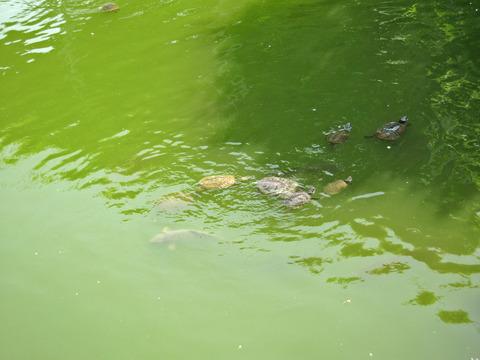 池の亀_edit