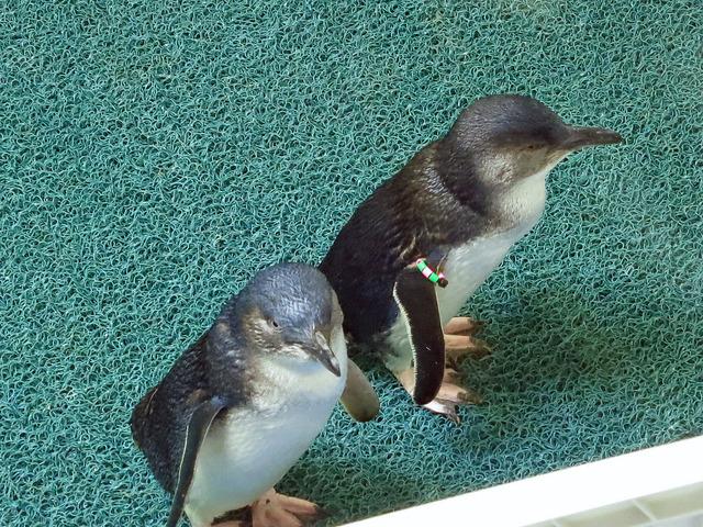 Little Blue Penguins 4_edit
