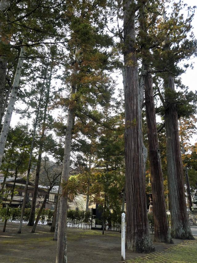 杉の木 2_edit