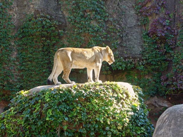 アフリカライオン 3_edit