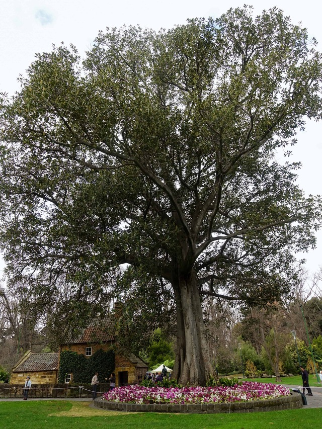 Great Australian Tree 1_edit