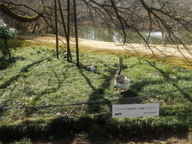 白鳥池の野鳥たち 2_edit