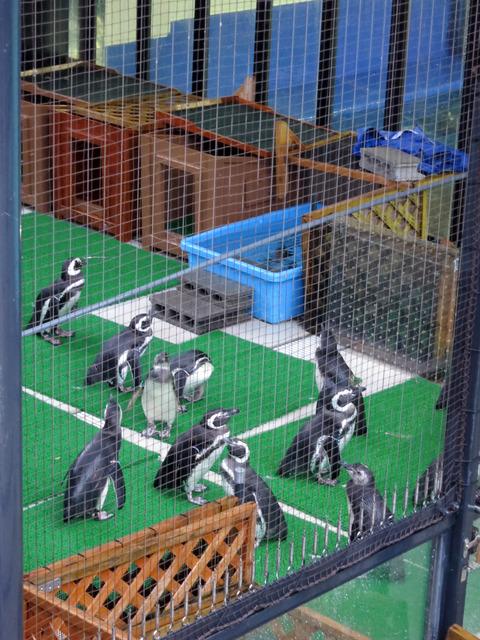 マゼランペンギン 2_edit