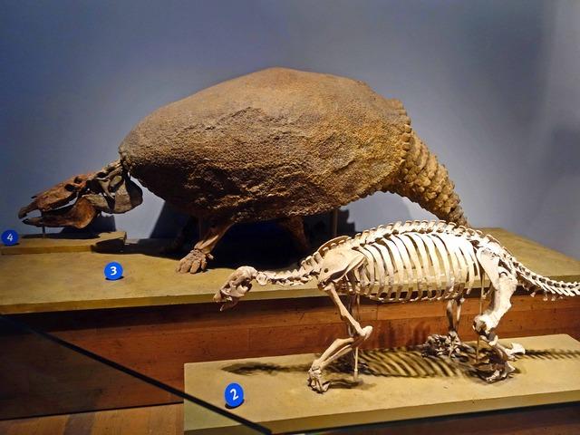 クリプトドンとGround Sloth の骨格標本_edit